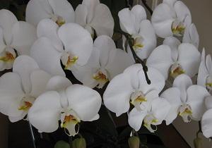 毎年咲く胡蝶蘭